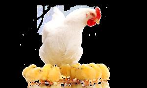 אמא תרנגולת